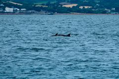 Two common dolphins near Penzance Stock Images