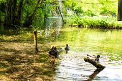 Two common ducks swimming by the crystal clear waters of the lake and among some tree branches walking like friends. stock images