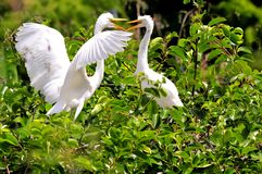 Two common egret birds Royalty Free Stock Image