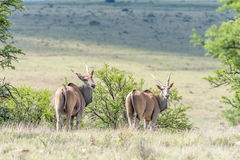 Two common eland Stock Photography