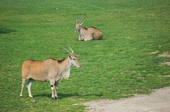 Two Common elands Royalty Free Stock Photography