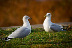 Two Common Gulls Facing Eacth Other Royalty Free Stock Photo