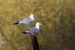 Two common gulls sitting on a a sculpture Stock Photo
