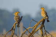 Two Common Hoopoes Perching on Branches stock images