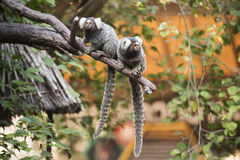 Two Common Marmoset on the tree Royalty Free Stock Images