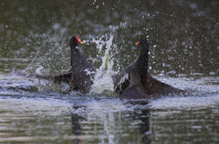 Two Common Moorhen fight on water. Two Common Moorhen (gallinula chloropus) male fight on water for his territory in Danube Delta, Romania Royalty Free Stock Photography