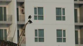 Two common myna birds are resting on tree branch. In front of the building stock video footage