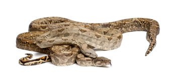 Two Common Northern Boas, Boa constrictor Royalty Free Stock Image
