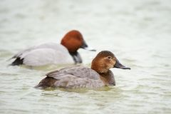 Two Common pochard male and female Aythya ferina Stock Images