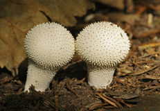 Two Common Puffballs Stock Photo