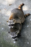 Two common raccoons Stock Image