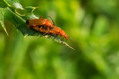 Common Red Soldier Beetle Stock Photography