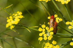 Two common red soldier beetles, Rhagonycha fulva, on fennel flow Royalty Free Stock Photo