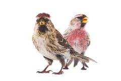 Two Common Redpoll Acanthis flammea. Isolated on white background Stock Photos