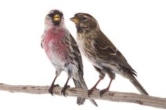 Two Common Redpoll. Acanthis flammea isolated on white background Stock Images
