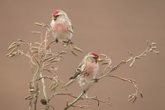 Two Common Redpolls Acanthis flammea sitting on a twig. Royalty Free Stock Image