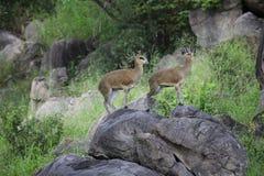 Two Common Reedbuck Stock Photo