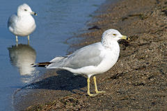 Two common Seagulls standing along shore line of sandy beach Royalty Free Stock Photo