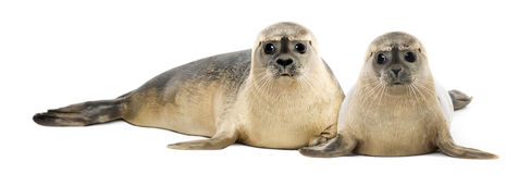 Two Common seals lying and looking Royalty Free Stock Images