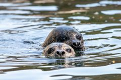 Two common seals in the water portrait. Heads of swimming harbor seal phoca vitulina. Cute pinniped marine animals with big dark eyes stock image