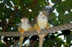 Two Common Squirrel Monkeys Stock Photos