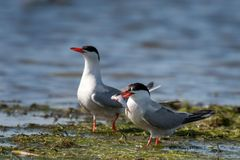 Two common tern with prey in natural habitat sterna hirundo.  Stock Photography