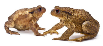 Two common toads or European toads, Bufo bufo Royalty Free Stock Image