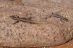 Two common wall lizards basking on stone. Portuguese island of Madeira stock image