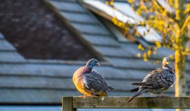 Two common wood pigeons sitting together in a beautiful composition, preening their feathers, common birds of europe stock images