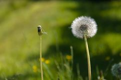 Two completely different dandelion Stock Photos