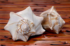 Two conch sea shells Royalty Free Stock Photography