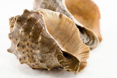 Two conch shell Royalty Free Stock Image