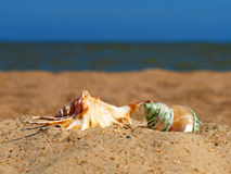 Two conch shells on a beach. Stock Photo