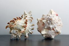Conch shells. Two conch shells on table with blank space royalty free stock photo