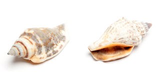 Two conches isolated on white Royalty Free Stock Image