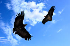 Two condors Stock Images