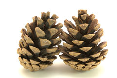 Two cone isolated. Two cone from pine-tree on the white background stock image