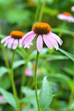 Two Coneflowers in the Garden. Echinacea purpurea and purple coneflowers flower bed with copy space. Echinacea Benefits and Uses. Two Coneflowers in the Garden Stock Image