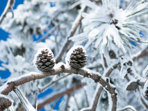 Two cones on a branch of pine tree Royalty Free Stock Images