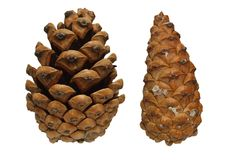 Two cones of a pine tree Stock Photos