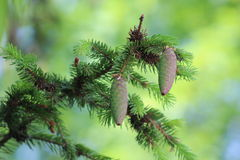 Two cones on spruce branch Royalty Free Stock Photography