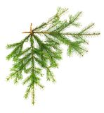 Two coniferous fir branches on white isolated Stock Images