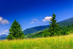 Two coniferous tree. On a glade in mountains Royalty Free Stock Photo