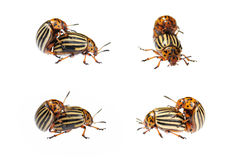 Two conjugating colorado bugs Stock Photos