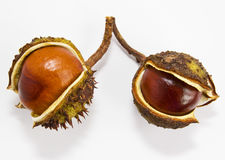 Two conkers  on a white background. Stock Images
