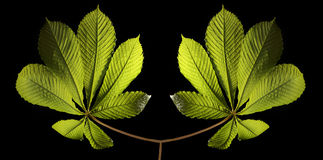 Two connected plants. On black background Royalty Free Stock Photos