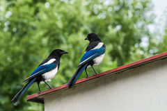 Two conspirators on the roof. Pica pica. Romantic meeting of a beautiful bird pair. Eurasian magpie or common magpie royalty free stock photo