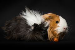 Two guinea pigs eating a carrot royalty free stock photo