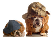 Two cool bulldogs Royalty Free Stock Photos