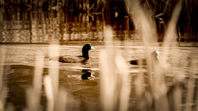 Two Coots Behind The Blades Of Grass in sepia tone Royalty Free Stock Images